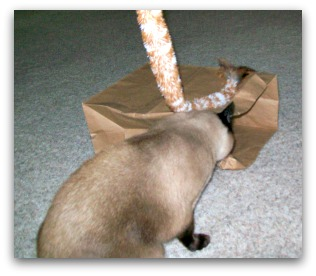 Siamese Cat with cat teaser toy
