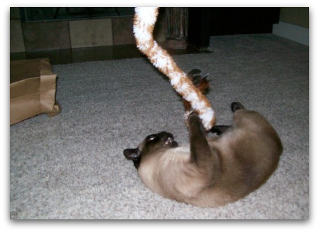 Siamese Cat Playing with teaser toy