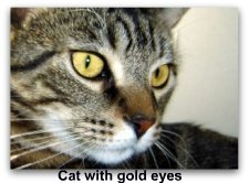 cat_with_gold_eyes