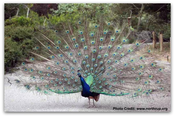 peacock-showing-feathers