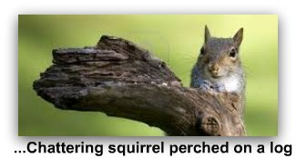 chattering_squirrel