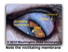 Cats_third_eyelid_labeled
