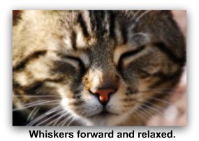 cat_whiskers_forward
